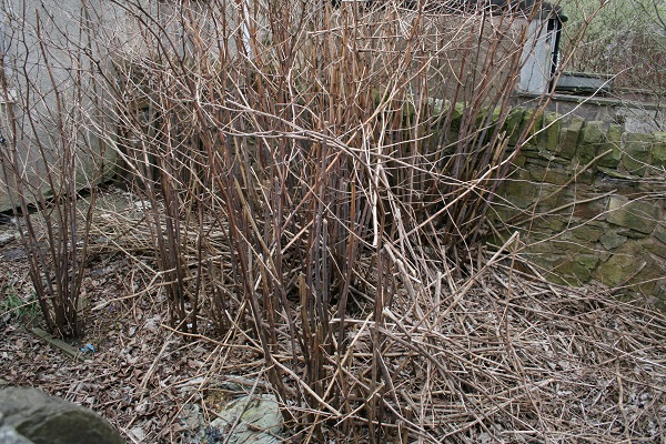 Getting Rid of Invasive Species of Plants: False Bamboo in